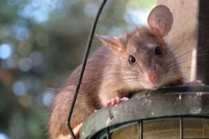 Rat Control, Pest Control in Strawberry Hill, Whitton, TW2. Call Now 020 8166 9746